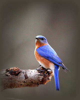 Photograph - Img_4405-002 - Eastern Bluebird by Travis Truelove