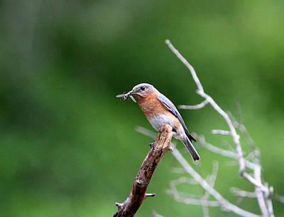 Photograph - Img_4468-002 - Eastern Bluebird by Travis Truelove