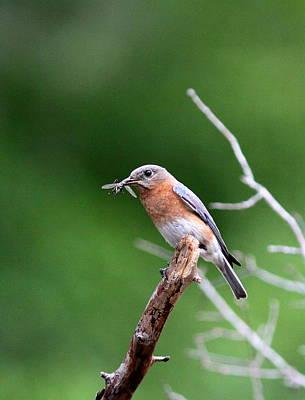 Photograph - Img_4468-003 - Eastern Bluebird by Travis Truelove