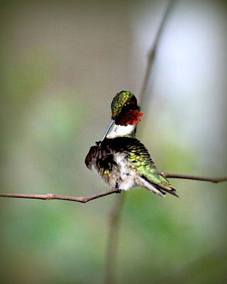 Photograph - Img_4531-001 - Ruby-throated Hummingbird by Travis Truelove