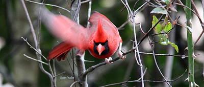 Photograph - Img_4565 - Northern Cardinal by Travis Truelove