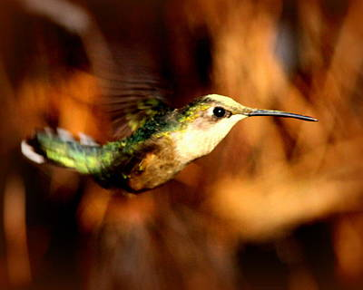 Photograph - Img_4616-001 - Ruby-throated Hummingbird by Travis Truelove
