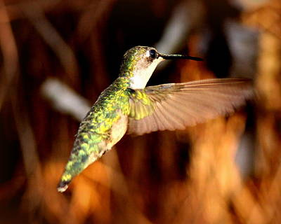 Photograph - Img_4625 - Ruby-throated Hummingbird by Travis Truelove
