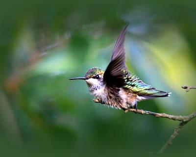 Photograph - Img_4803-002 - Ruby-throated Hummingbird by Travis Truelove