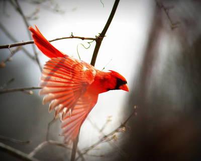 Photograph - Img_4816-004 - Northern Cardinal by Travis Truelove