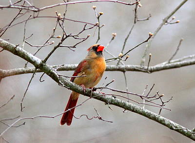 Photograph - Img_4891-003 - Northern Cardinal by Travis Truelove