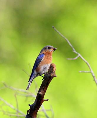 Photograph - Img_4897 - Eastern Bluebird by Travis Truelove
