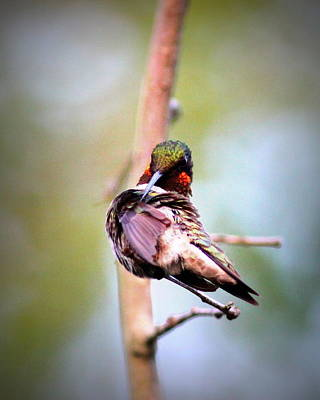 Photograph - Img_5053 - Ruby-throated Hummingbird by Travis Truelove