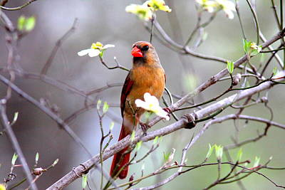 Photograph - Img_5072-003 - Northern Cardinal by Travis Truelove