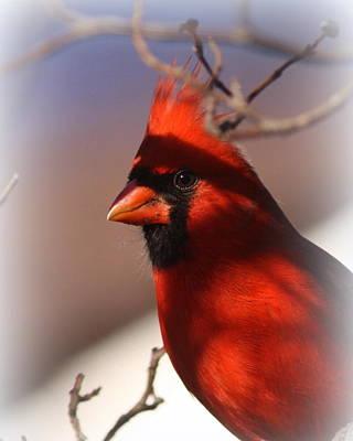 Photograph - Img_5165-013 - Northern Cardinal by Travis Truelove
