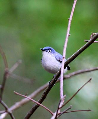 Photograph - Img_5335-001 - Blue-gray Gnatcatcher by Travis Truelove