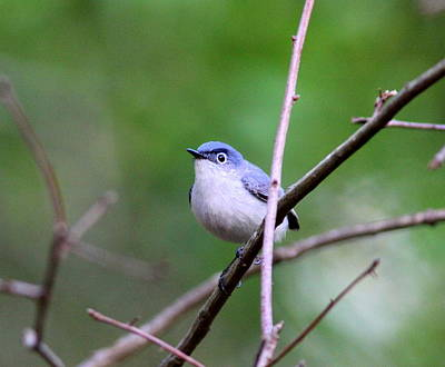 Photograph - Img_5335-002 - Blue-gray Gnatcatcher by Travis Truelove