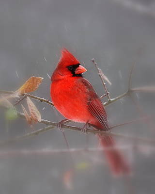 Photograph - Img_5387 - Northern Cardinal by Travis Truelove