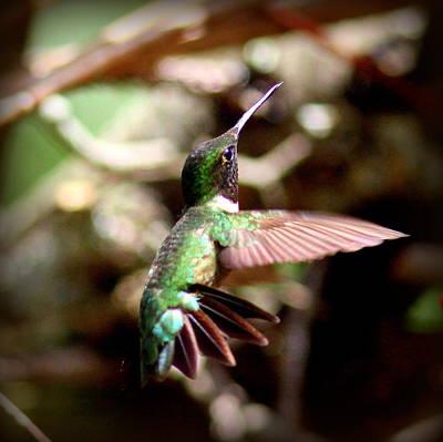 Photograph - Img_5776-001 - Ruby-throated Hummingbird by Travis Truelove