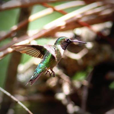 Photograph - Img_5778-001 - Ruby-throated Hummingbird by Travis Truelove