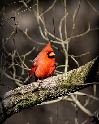 Photograph - Img_5804-023 - Northern Cardinal by Travis Truelove