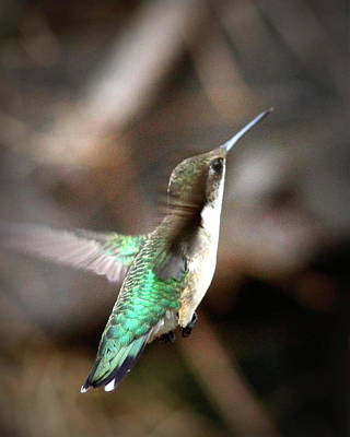 Photograph - Img_5888 - Ruby-throated Hummingbird by Travis Truelove