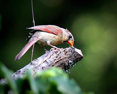 Photograph - Img_5919-001 - Northern Cardinal by Travis Truelove