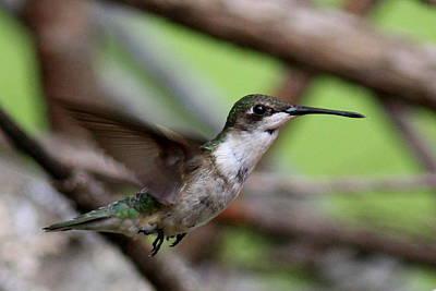 Photograph - Img_5954-003 - Ruby-throated Hummingbird Slash by Travis Truelove