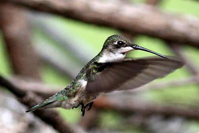 Photograph - Img_5958 - Ruby-throated Hummingbird by Travis Truelove