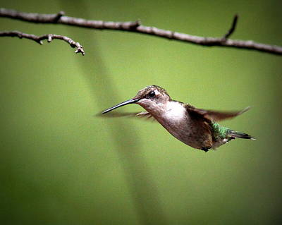 Photograph - Img_5993 - Ruby-throated Hummingbird by Travis Truelove