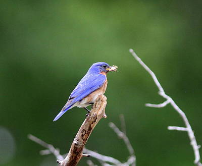 Pittsburgh According To Ron Magnes - IMG_5999-002 -  Eastern Bluebird by Travis Truelove