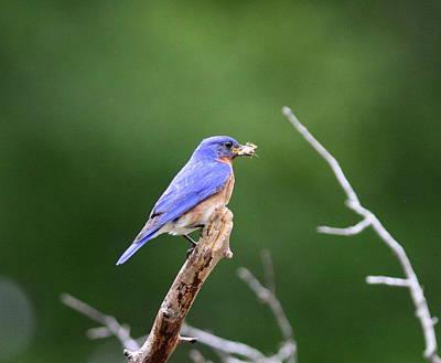 Photograph - Img_5999-002 -  Eastern Bluebird by Travis Truelove