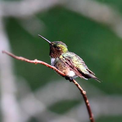 Photograph - Img_60700 - Ruby-throated Hummingbird by Travis Truelove