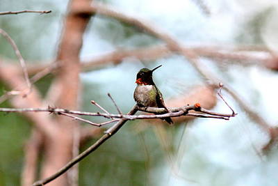 Photograph - Img_6093 - Ruby-throated Hummingbird by Travis Truelove