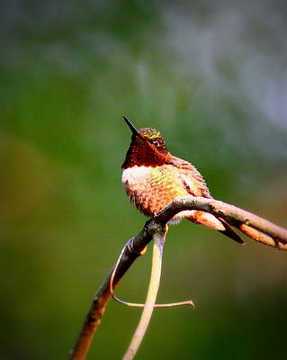 Photograph - Img_6138-001 - Ruby-throated Hummingbird by Travis Truelove