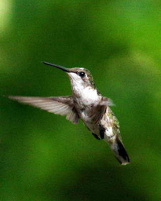 Photograph - Img_6147 - Ruby-throated Hummingbird by Travis Truelove