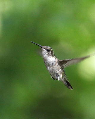 Photograph - Img_6152 - Ruby-throated Hummingbird by Travis Truelove