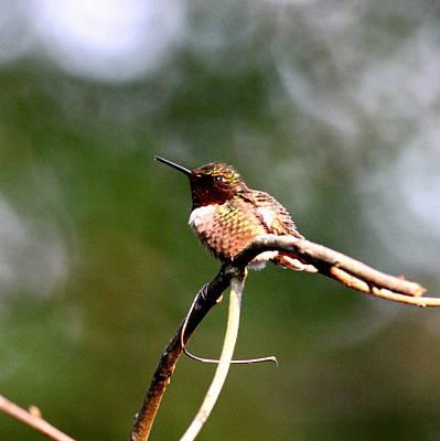 Photograph - Img_6165-001 - Ruby-throated Hummingbird by Travis Truelove