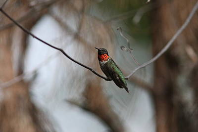 Photograph - Img_6183 - Ruby-throated Hummingbird by Travis Truelove