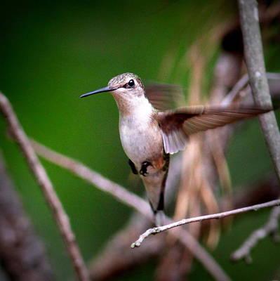Photograph - Img_6262-001 - Ruby-throated Hummingbird by Travis Truelove