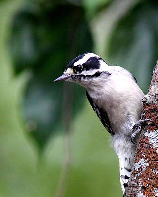 Photograph - Img_62965 - Downy Woodpecker by Travis Truelove