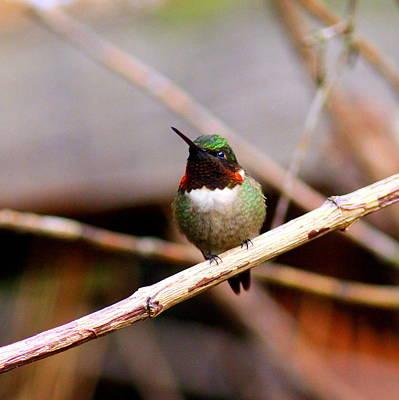 Photograph - Img_6444 - Ruby-throated Hummingbird by Travis Truelove
