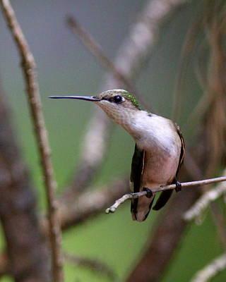 Photograph - Img_6463-001 - Ruby-throated Hummingbird by Travis Truelove