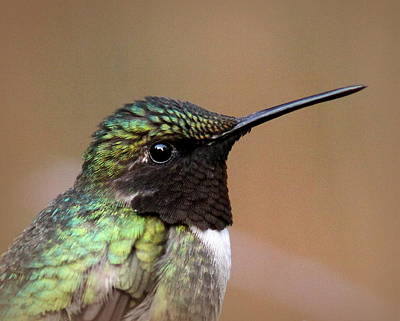 Photograph - Img_6536 - Ruby-throated Hummingbird by Travis Truelove