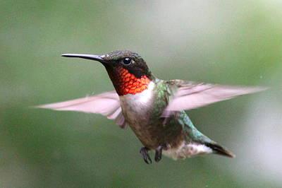 Photograph - Img_6549 - Ruby-throated Hummingbird by Travis Truelove