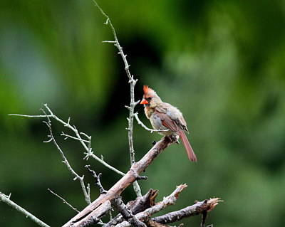 Photograph - Img_6617 - Northern Cardinal by Travis Truelove