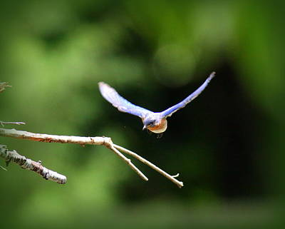 Photograph - Img_6670-005 - Eastern Bluebird by Travis Truelove