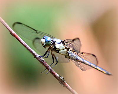 Photograph - Img_6756 - Dragonfly by Travis Truelove