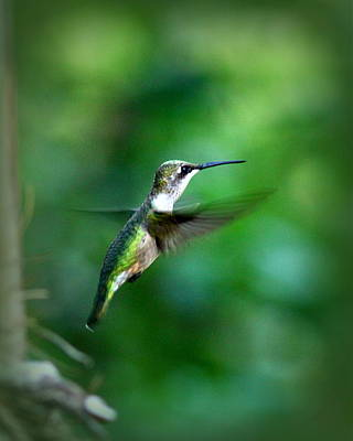 Photograph - Img_6916 - Ruby-throated Hummingbird by Travis Truelove
