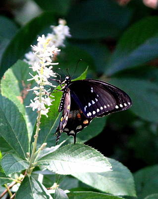 Photograph - Img_6922 - Black Swallowtail Butterfly by Travis Truelove