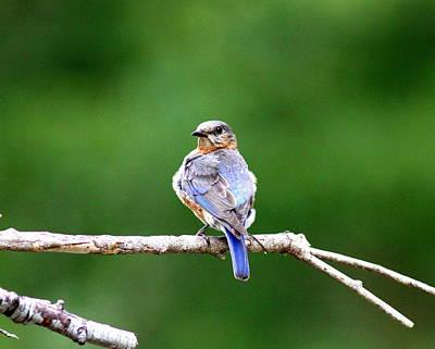 Photograph - Img_6950 - Eastern Bluebird by Travis Truelove