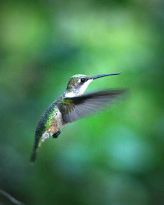 Photograph - Img_6957 _ Ruby-throated Hummingbird by Travis Truelove