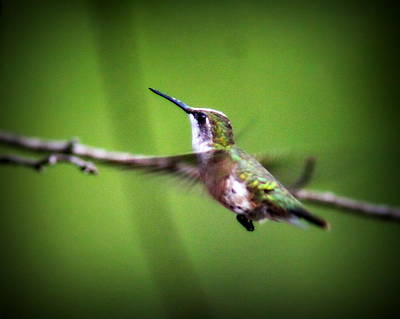 Photograph - Img_7006 - Ruby-throated Hummingbird by Travis Truelove