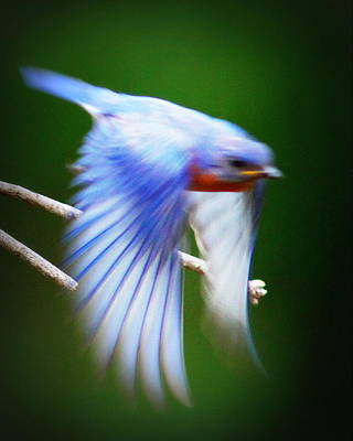 Photograph - Img_7058 - Eastern Bluebir by Travis Truelove