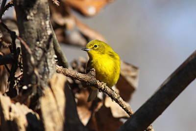 Stocktrek Images - IMG_7129 - Pine Warbler by Travis Truelove